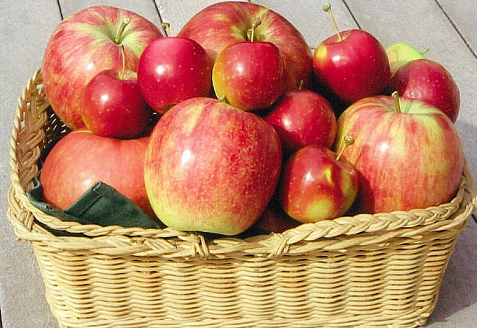 採れたてりんご